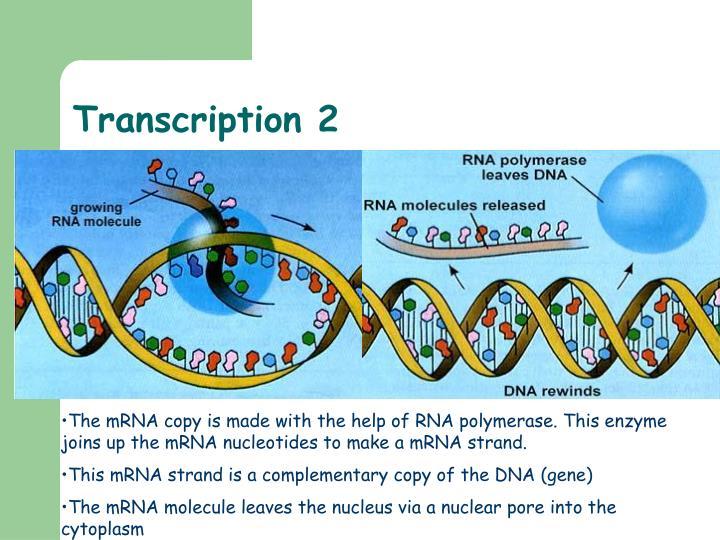 Transcription 2