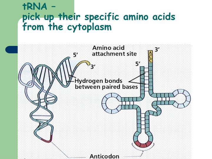 tRNA –