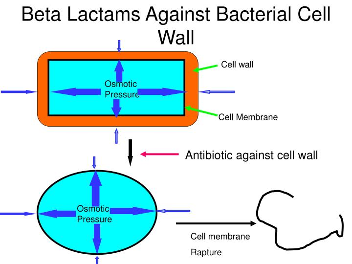 Beta Lactams Against Bacterial Cell Wall