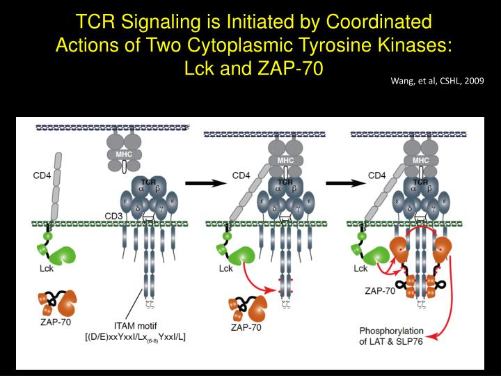 TCR Signaling is Initiated by Coordinated