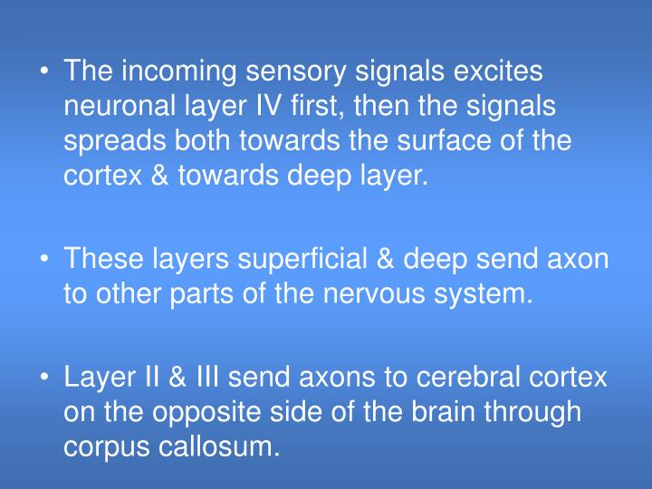 The incoming sensory signals excites neuronal layer IV first, then the signals spreads both towards the surface of the cortex & towards deep layer.