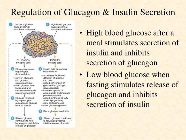 Regulation of Glucagon & Insulin Secretion