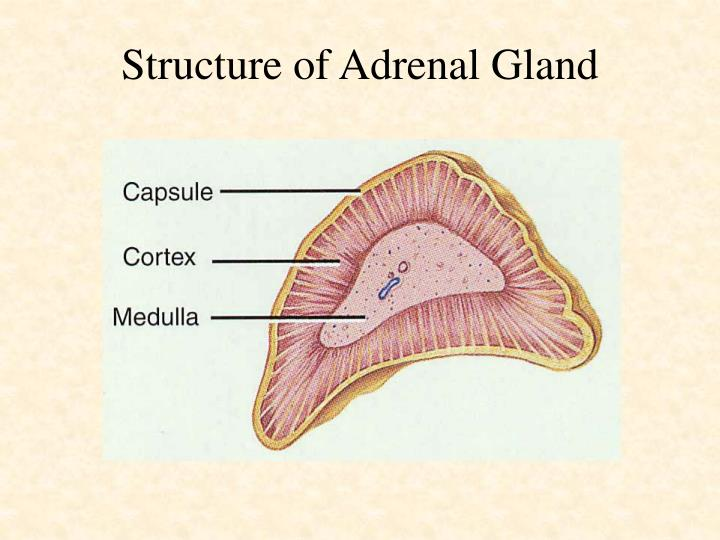 Structure of Adrenal Gland