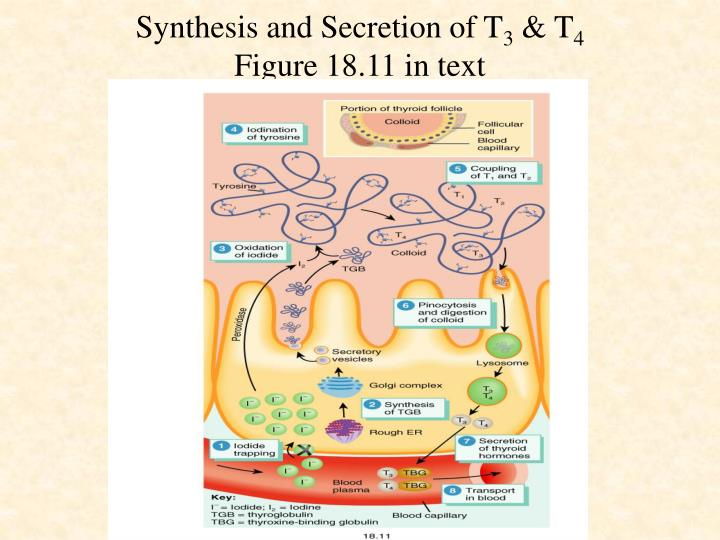 Synthesis and Secretion of T