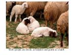 helpless docile sheep