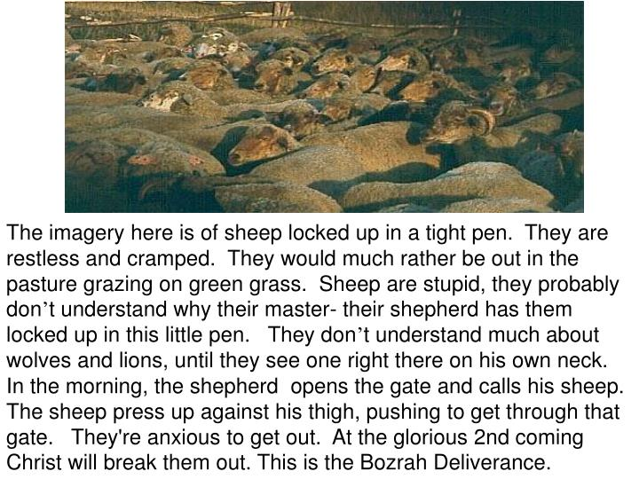Sheep eager to get out
