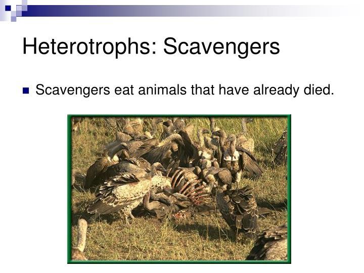 Heterotrophs: Scavengers
