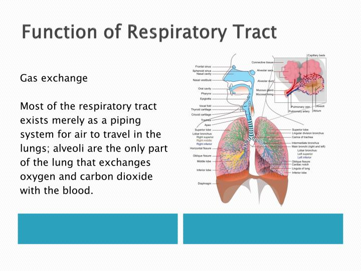 Function of Respiratory Tract