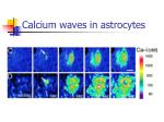 calcium waves in astrocytes