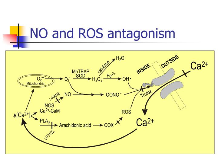 NO and ROS antagonism