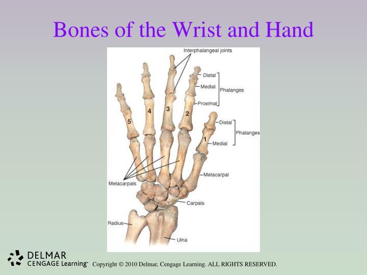 Bones of the Wrist and Hand