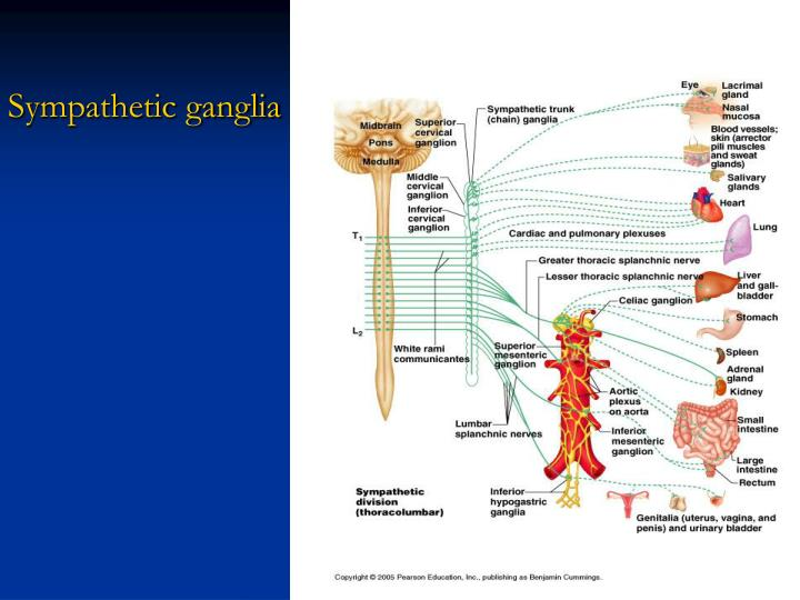 Sympathetic ganglia