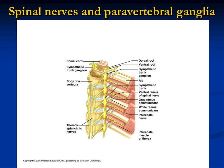 Spinal nerves and paravertebral
