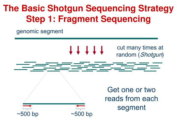 The basic shotgun sequencing strategy step 1 fragment sequencing