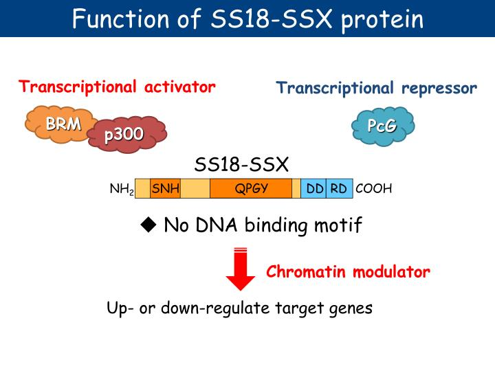 Function of SS18-SSX protein