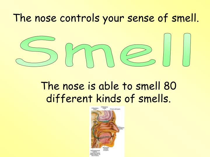 The nose controls your sense of smell.