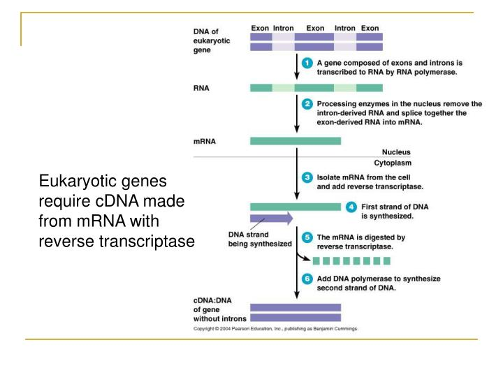 Eukaryotic genes require cDNA made from mRNA with reverse transcriptase