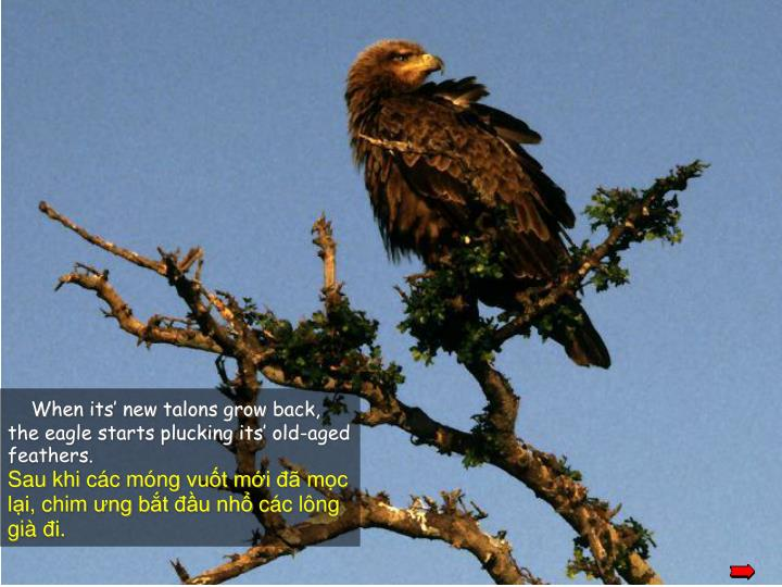 When its' new talons grow back, the eagle starts plucking its' old-aged feathers.