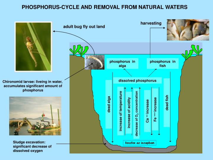 PHOSPHORUS-CYCLE AND REMOVAL FROM NATURAL WATERS