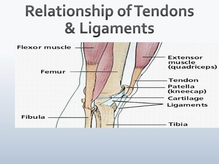 Relationship of Tendons & Ligaments