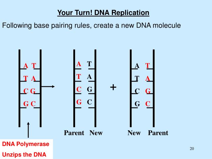 Your Turn! DNA Replication