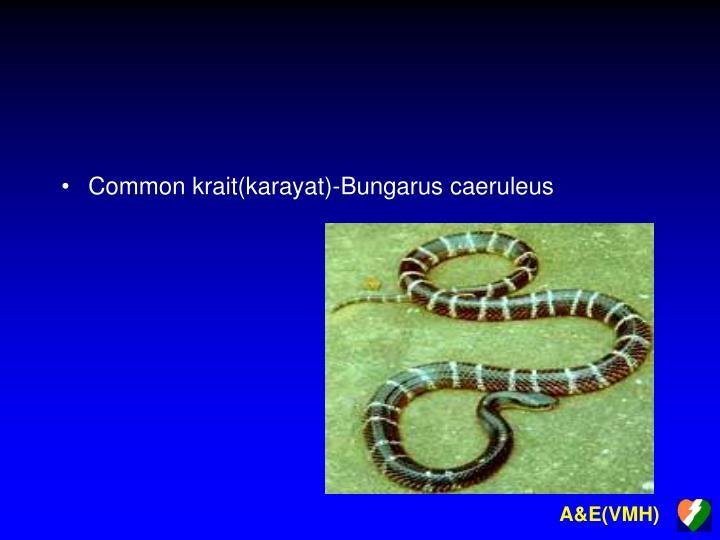 Common krait(karayat)-Bungarus caeruleus