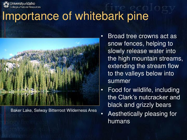 Importance of whitebark pine