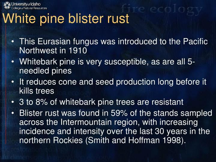 White pine blister rust