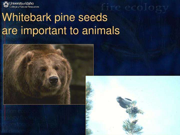Whitebark pine seeds