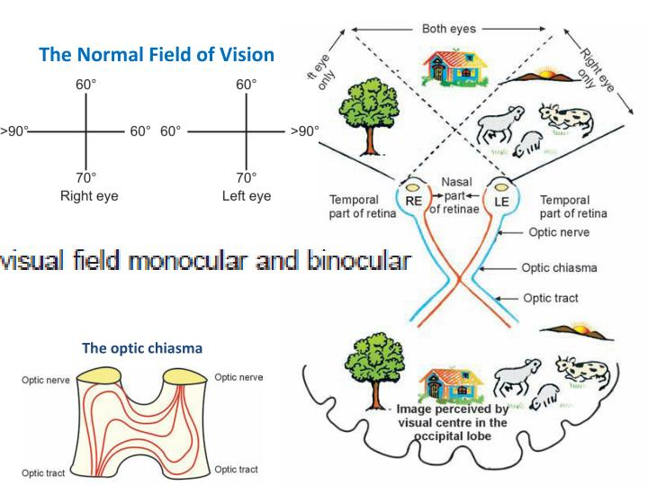 The Normal Field of Vision