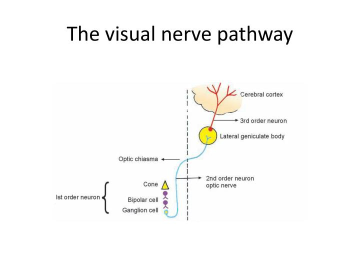 The visual nerve pathway