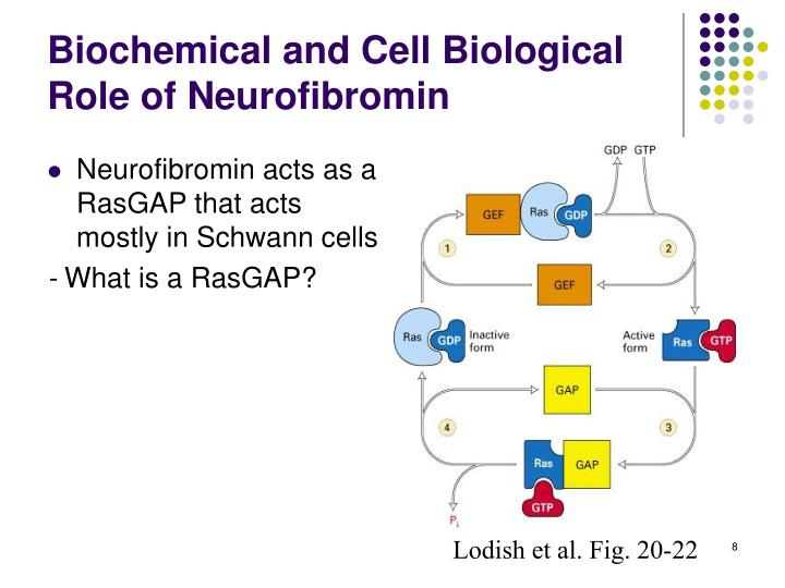 Biochemical and Cell Biological Role of Neurofibromin
