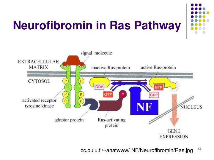 Neurofibromin in Ras Pathway