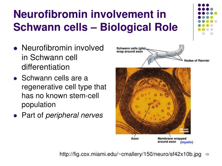 Neurofibromin involvement in Schwann cells – Biological Role