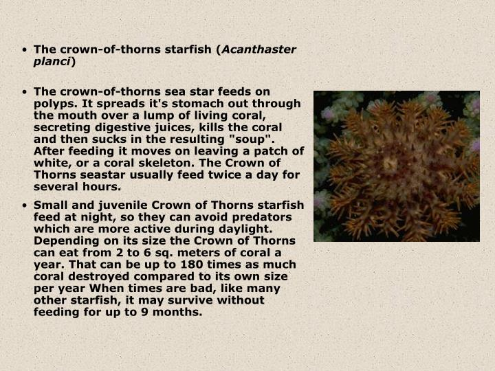 The crown-of-thorns starfish (