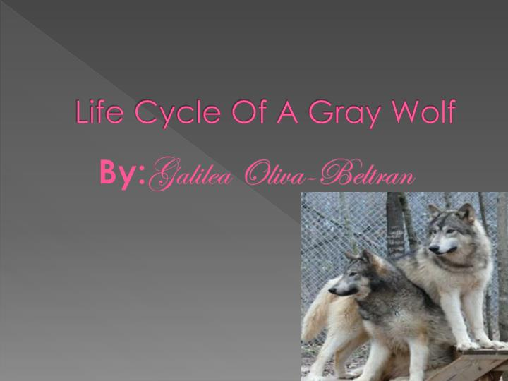 gray wolf and life cycle coyote Natural history gray wolf } canis lupus family: canidae description: gray wolves are the largest wild members of the dog family, with adults ranging from 40 to 175 pounds wolves' fur color is a wolf's longer legs, larger feet, wider head and snout, and straight tail distinguish it from both coyotes and dogs.