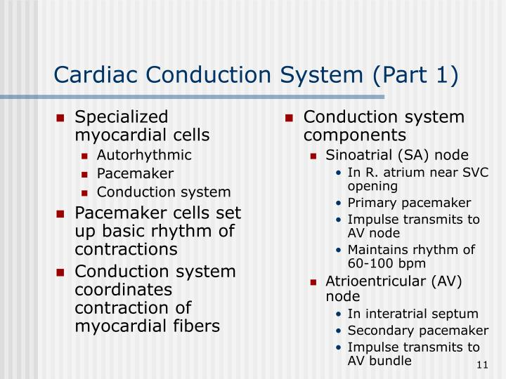 Specialized myocardial cells