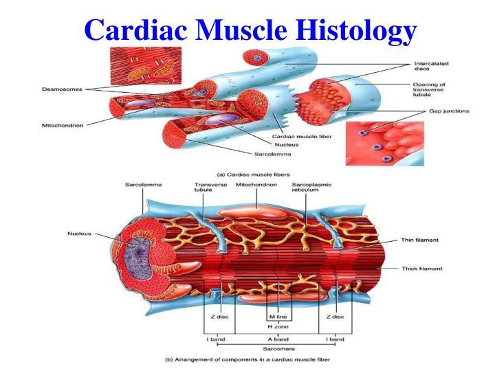 Cardiac Muscle Histology