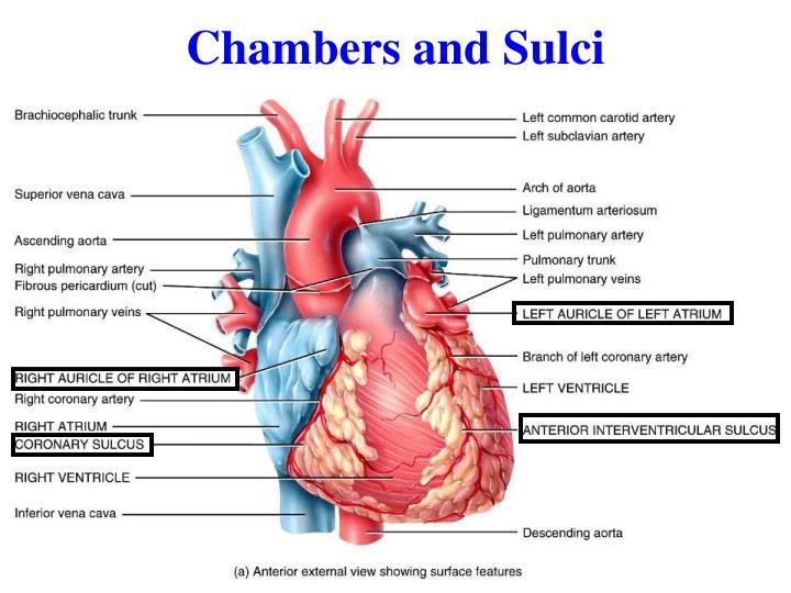 Chambers and Sulci