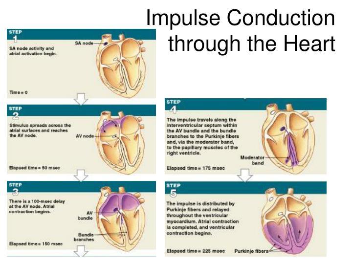 Impulse Conduction