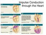 impulse conduction through the heart
