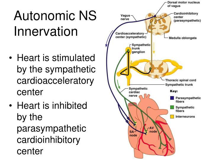 Autonomic NS Innervation