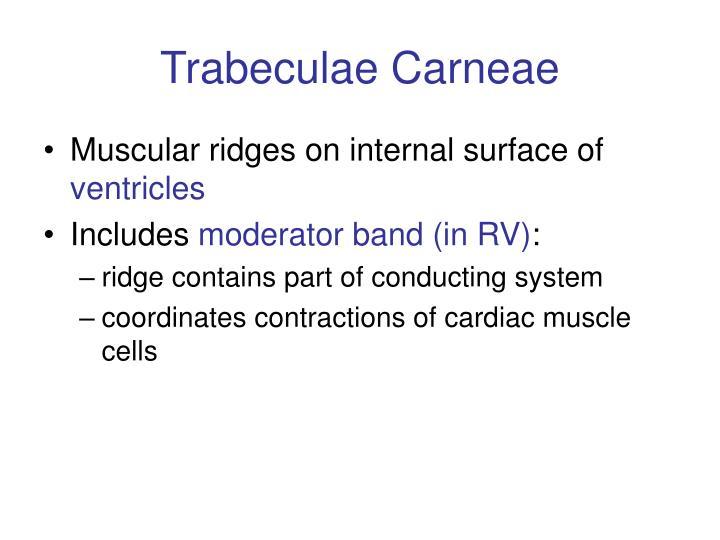 Trabeculae Carneae