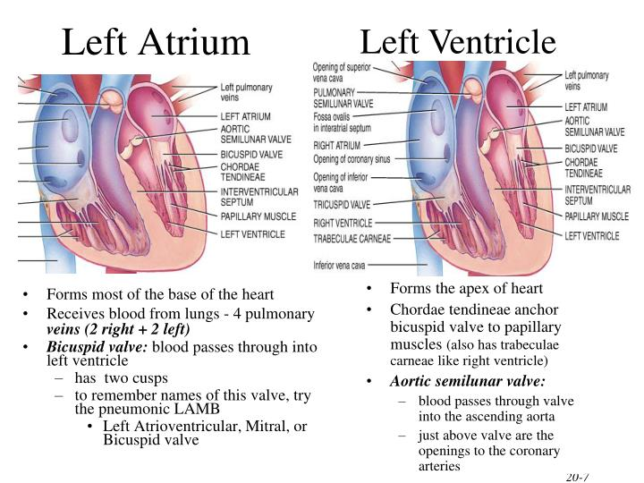 Left Ventricle