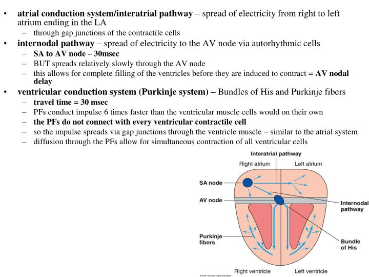 atrial conduction system/interatrial pathway