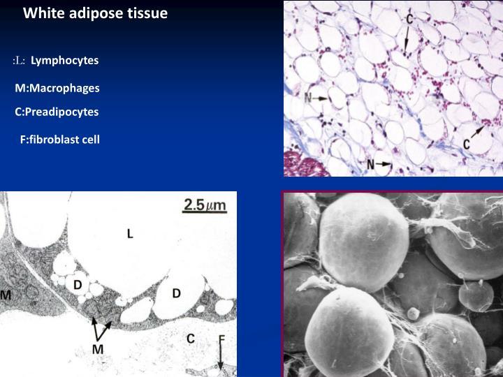 White adipose tissue