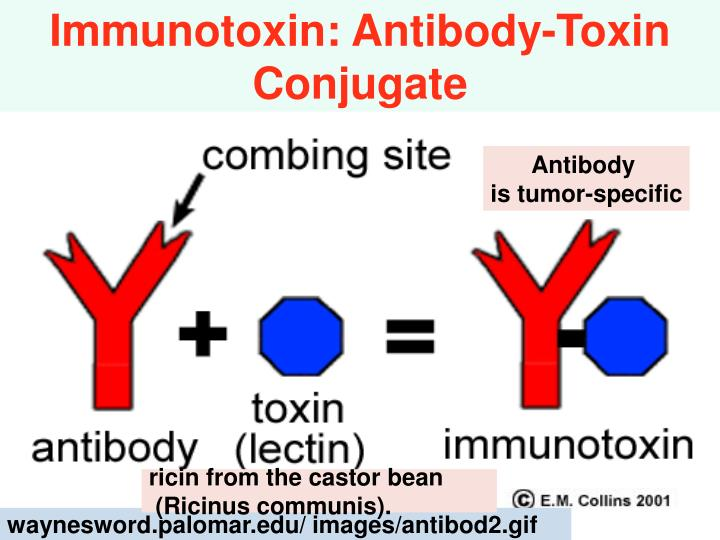 waynesword.palomar.edu/ images/antibod2.gif