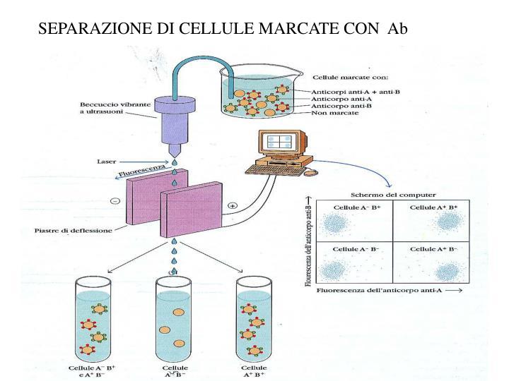 SEPARAZIONE DI CELLULE MARCATE CON  Ab
