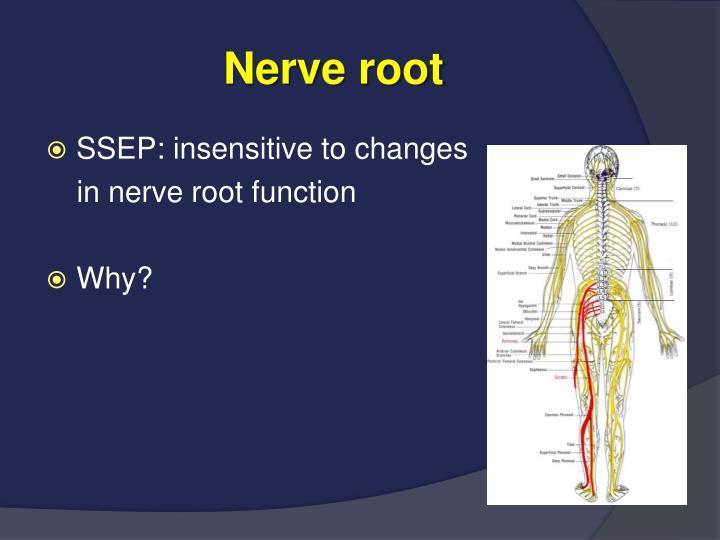 Nerve root