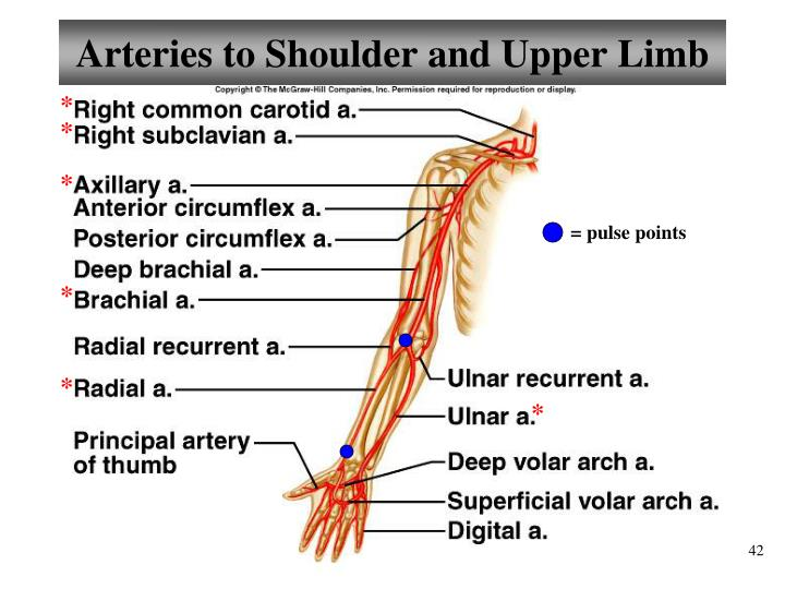 Arteries to Shoulder and Upper Limb